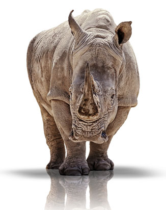 The International Rhino Foundation is dedicated to the survival of the world's rhino species through conservation and research.